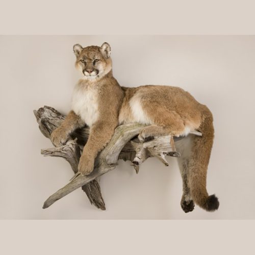 Small Bobcat