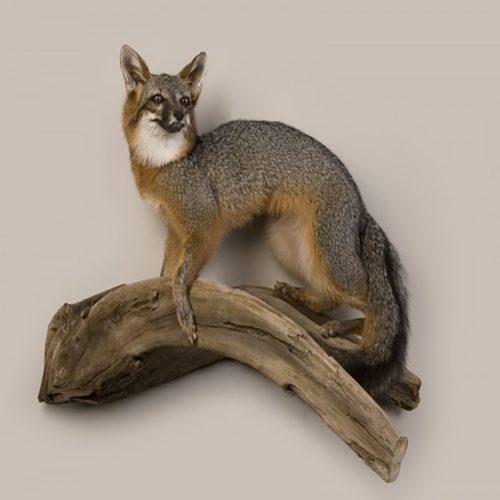 Fox (Gray)