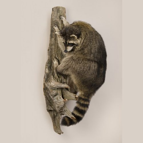 Climbing Raccoon