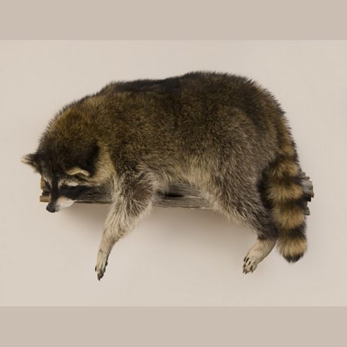 Laying Raccoon