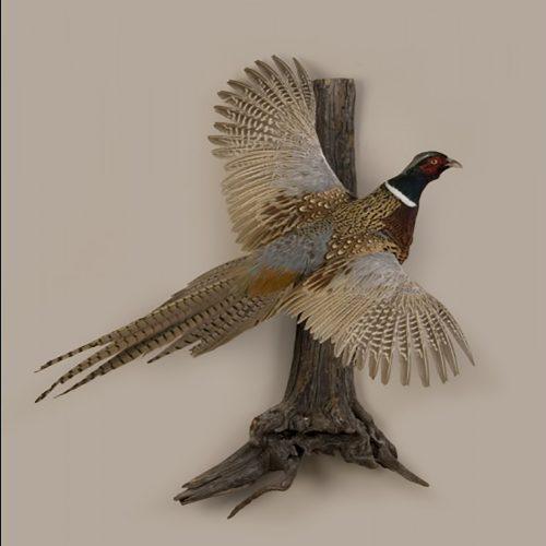 Golden Pheasant (Flying)
