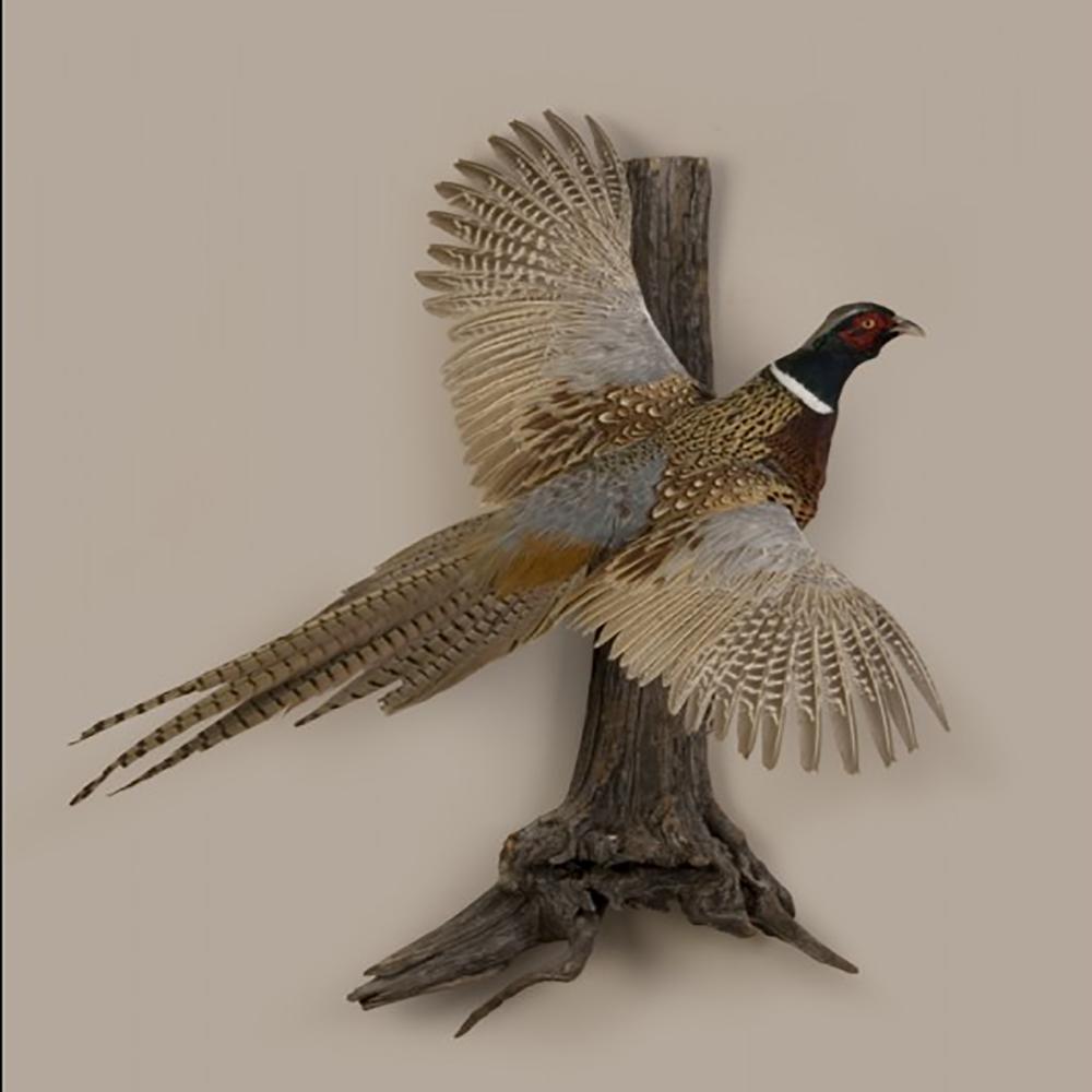Ringneck pheasant flying