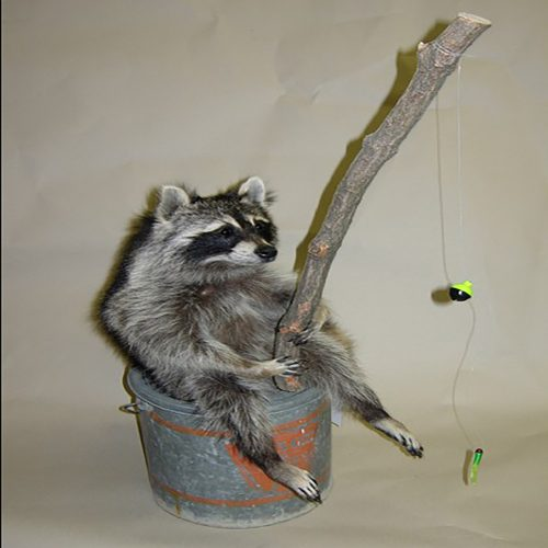 Fishing Raccoon on a Minnow Bucket