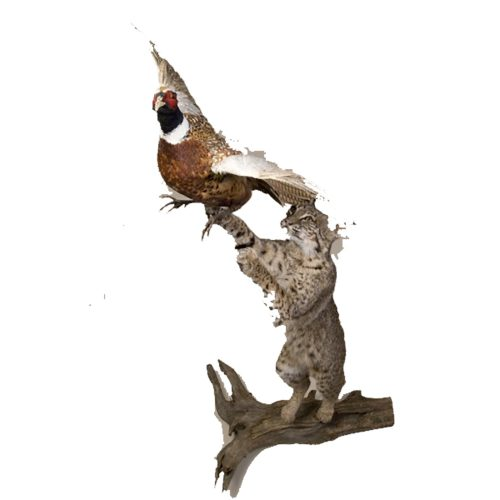 Bobcat with Pheasant