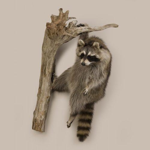 Hanging Raccoon