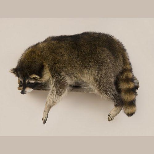 Laying Raccoon