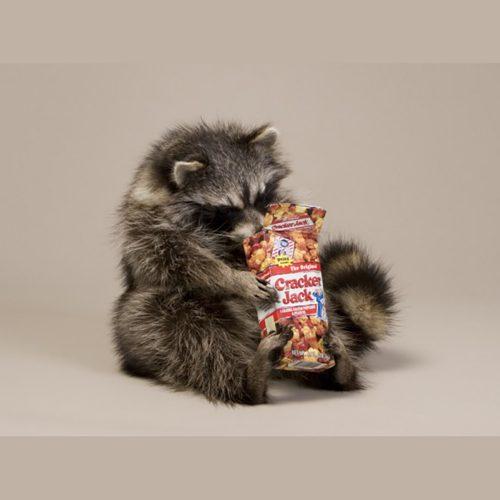 Snackin' Raccoon