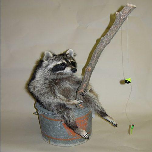 Fishing Raccoon on a Minnow Bucket